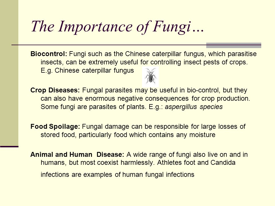The Importance of Fungi… Biocontrol: Fungi such as the Chinese caterpillar fungus, which parasitise insects, can be extremely useful for controlling insect pests of crops.