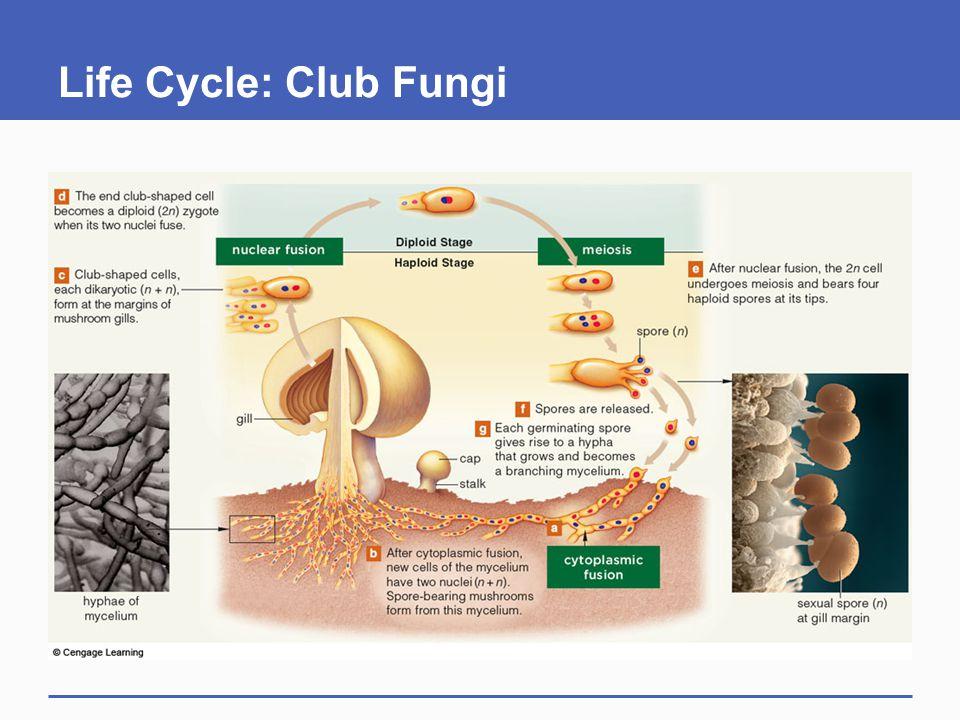 Life Cycle: Club Fungi