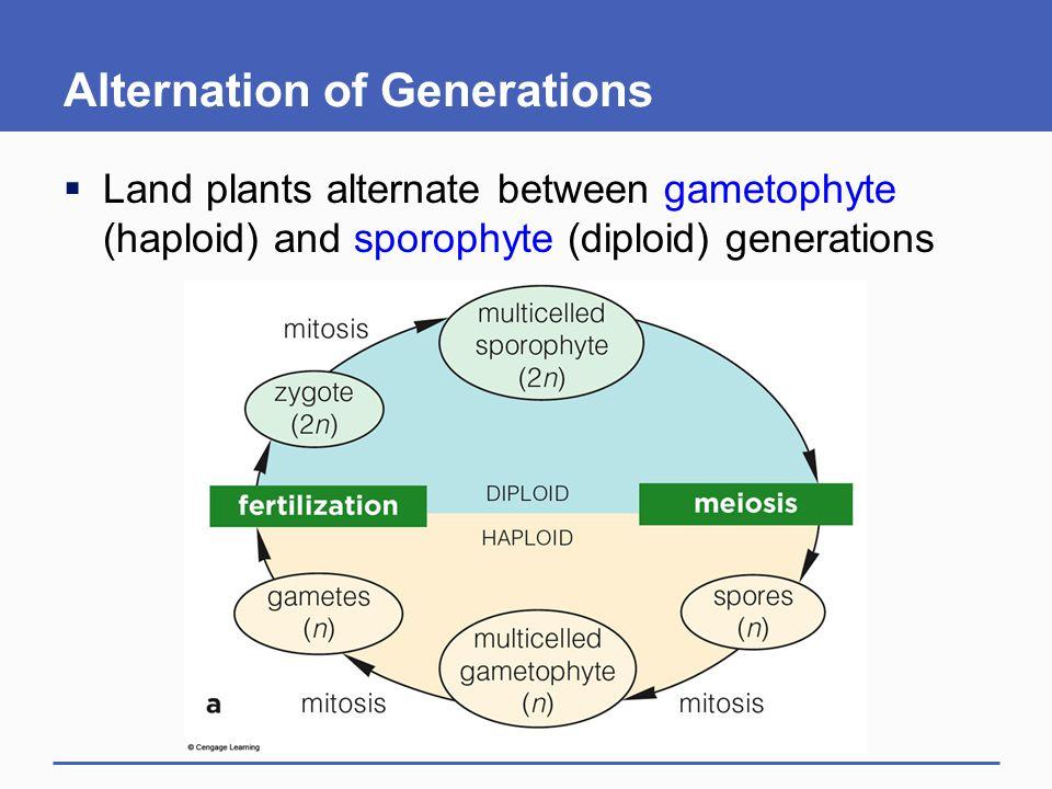 Alternation of Generations  Land plants alternate between gametophyte (haploid) and sporophyte (diploid) generations