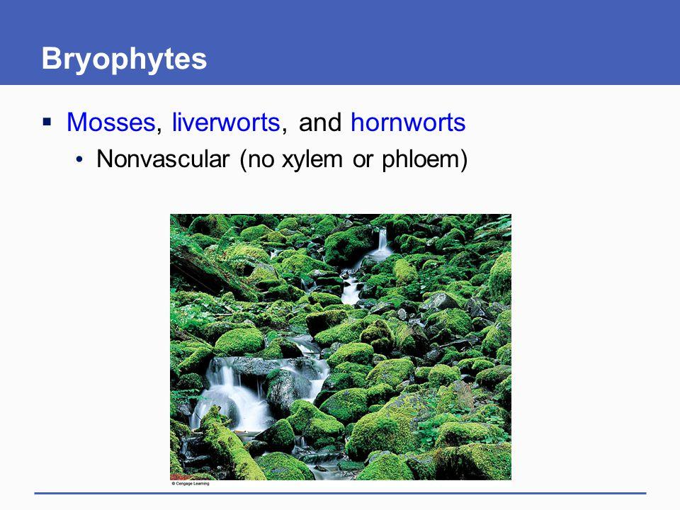 Bryophytes  Mosses, liverworts, and hornworts Nonvascular (no xylem or phloem)