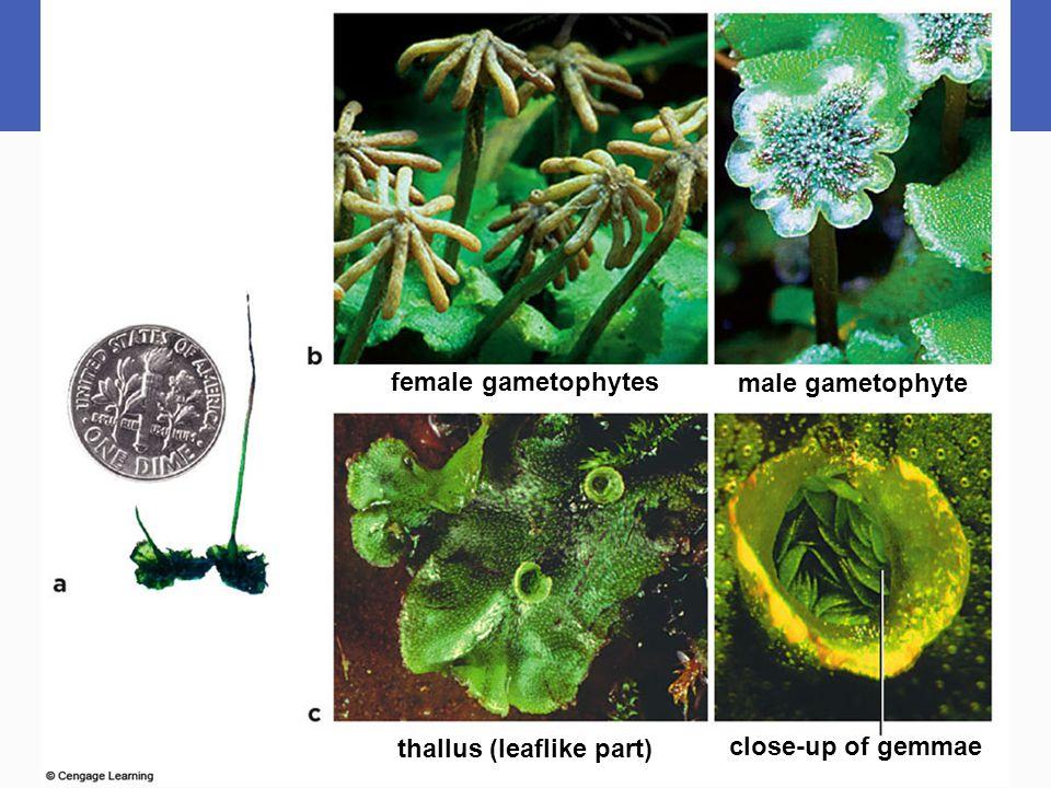 female gametophytes thallus (leaflike part) close-up of gemmae male gametophyte