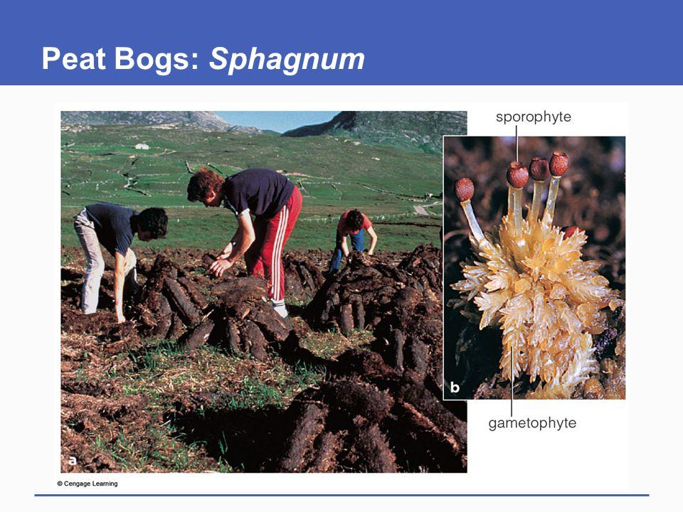 Peat Bogs: Sphagnum