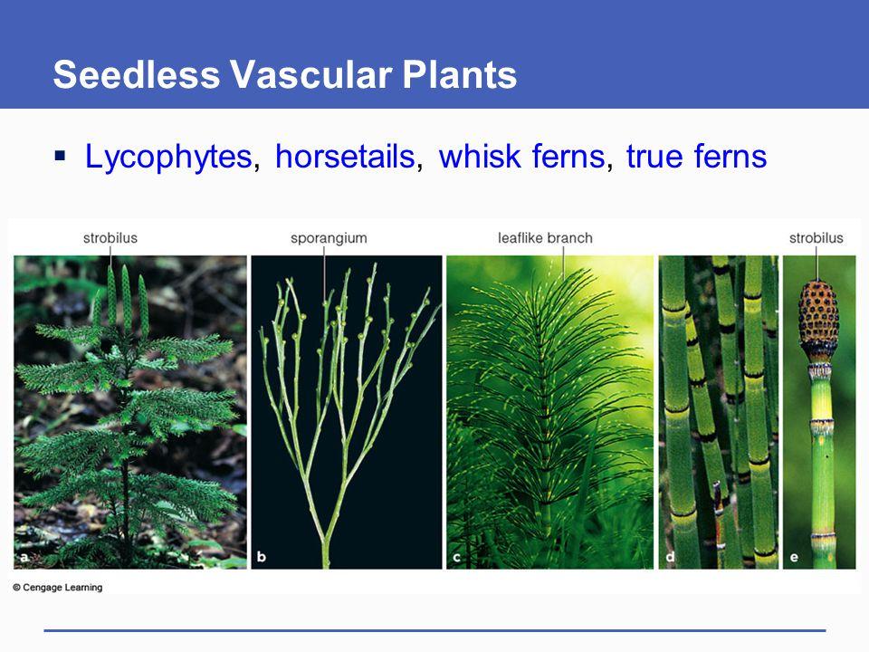 Seedless Vascular Plants  Lycophytes, horsetails, whisk ferns, true ferns