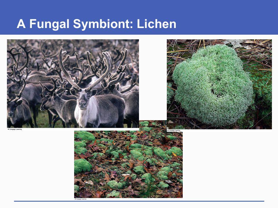 A Fungal Symbiont: Lichen