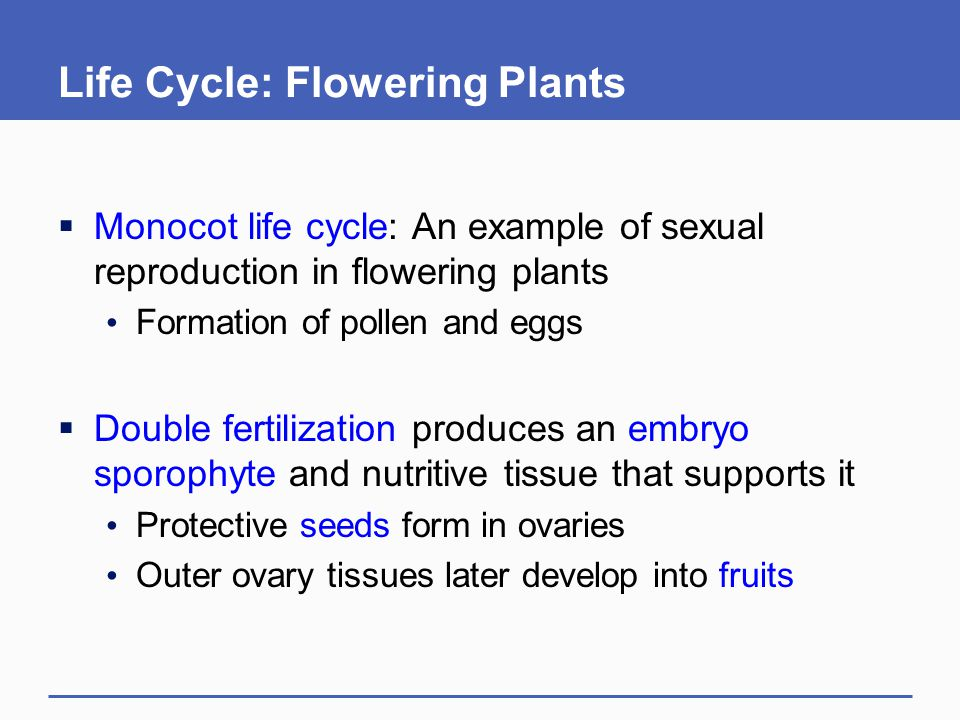 Life Cycle: Flowering Plants  Monocot life cycle: An example of sexual reproduction in flowering plants Formation of pollen and eggs  Double fertili