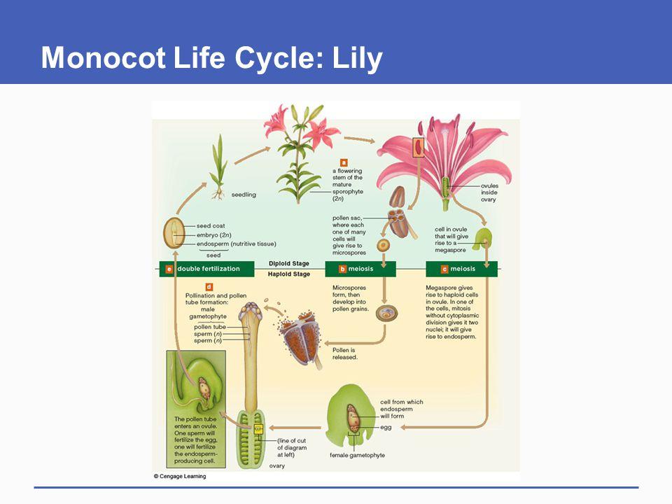 Monocot Life Cycle: Lily