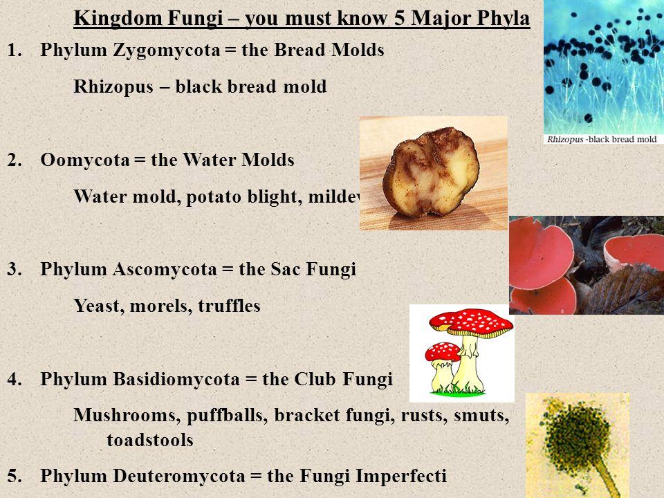 Kingdom Fungi – you must know 5 Major Phyla 1.Phylum Zygomycota = the Bread Molds Rhizopus – black bread mold 2.Oomycota = the Water Molds Water mold, potato blight, mildew 3.Phylum Ascomycota = the Sac Fungi Yeast, morels, truffles 4.Phylum Basidiomycota = the Club Fungi Mushrooms, puffballs, bracket fungi, rusts, smuts, toadstools 5.Phylum Deuteromycota = the Fungi Imperfecti