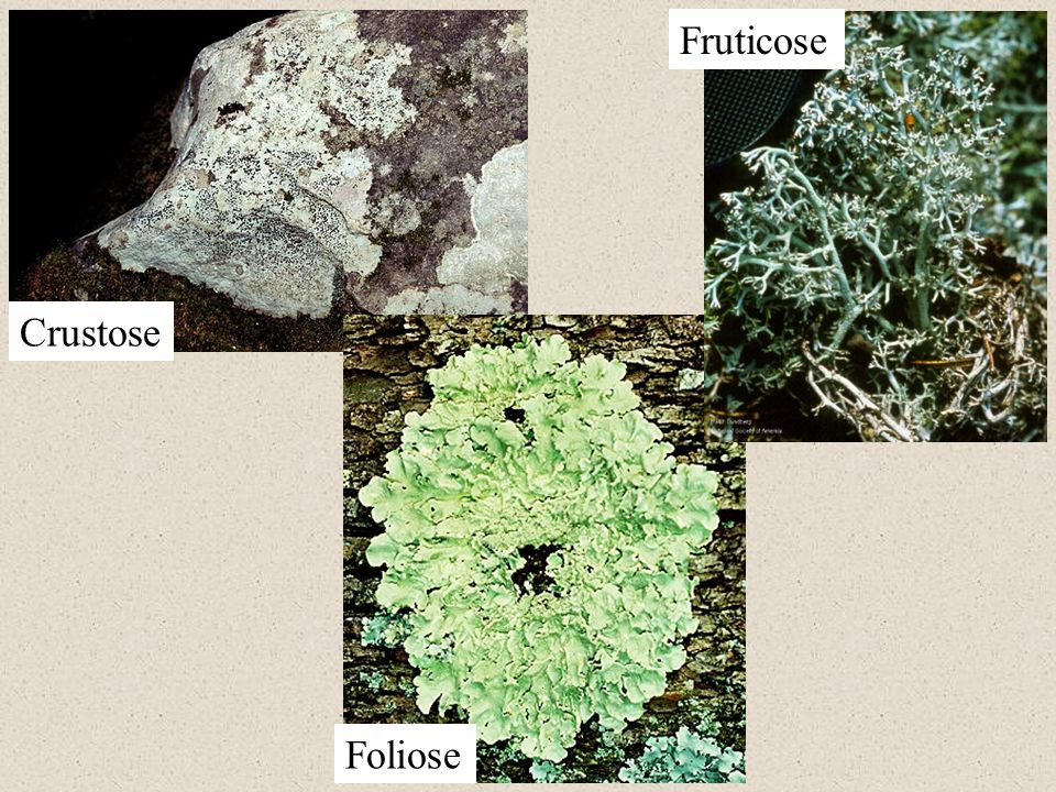 Crustose Foliose Fruticose