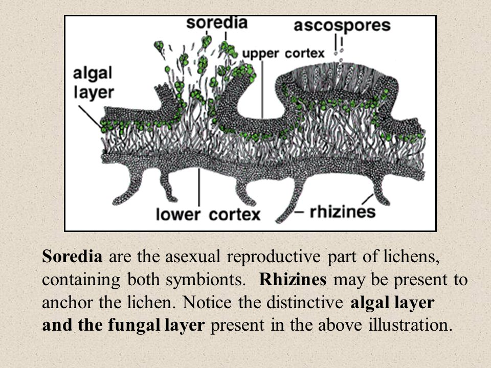 Soredia are the asexual reproductive part of lichens, containing both symbionts.