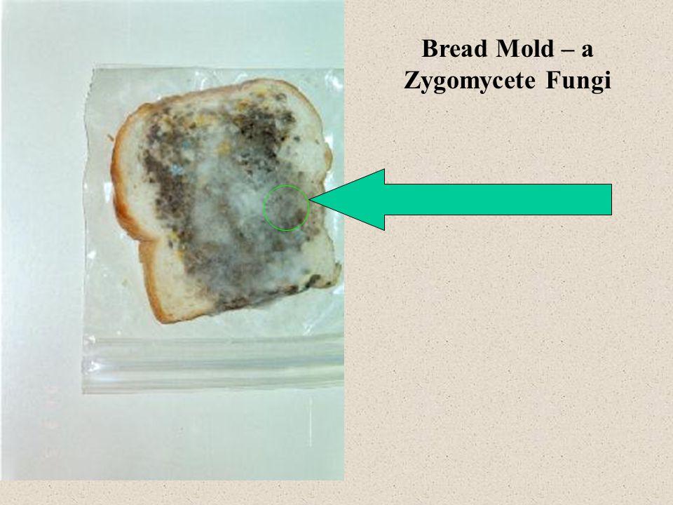 Bread Mold – a Zygomycete Fungi