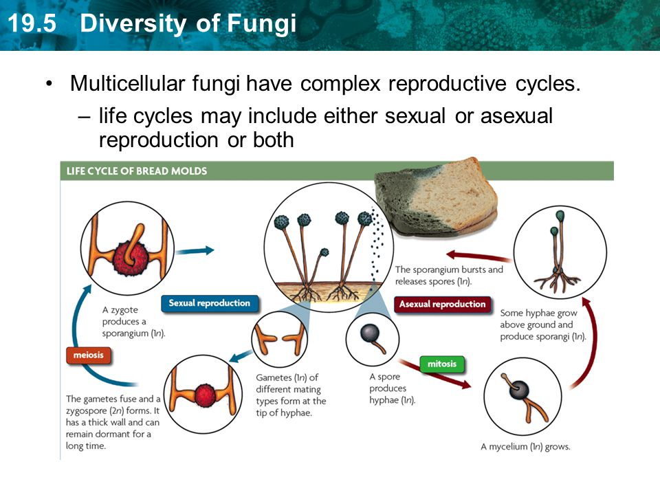19.5 Diversity of Fungi –life cycles may include either sexual or asexual reproduction or both Multicellular fungi have complex reproductive cycles.