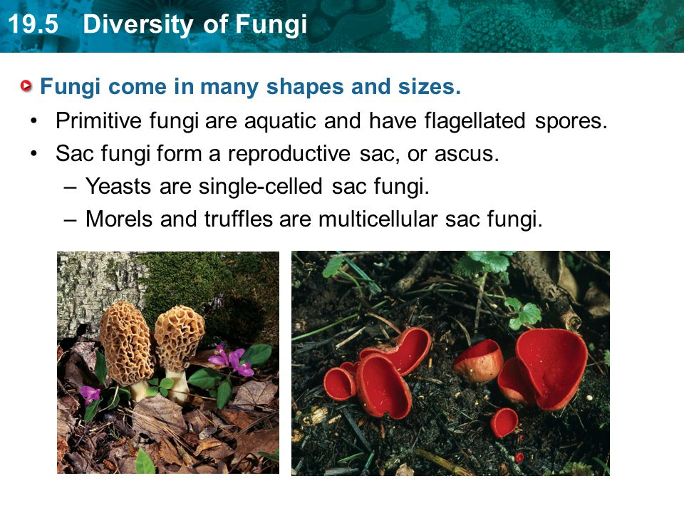 19.5 Diversity of Fungi Fungi come in many shapes and sizes.