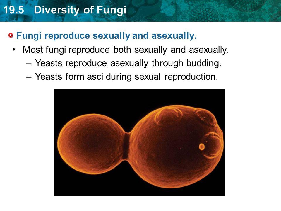 19.5 Diversity of Fungi Fungi reproduce sexually and asexually. Most fungi reproduce both sexually and asexually. –Yeasts reproduce asexually through