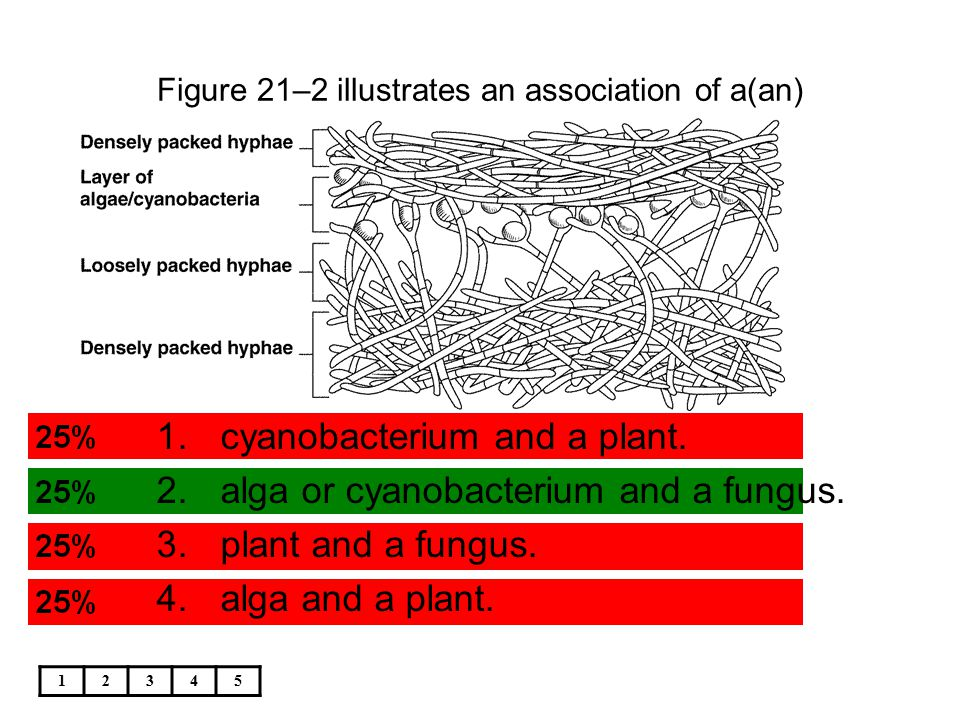 12345 Figure 21–2 illustrates an association of a(an) 1.cyanobacterium and a plant. 2.alga or cyanobacterium and a fungus. 3.plant and a fungus. 4.alg