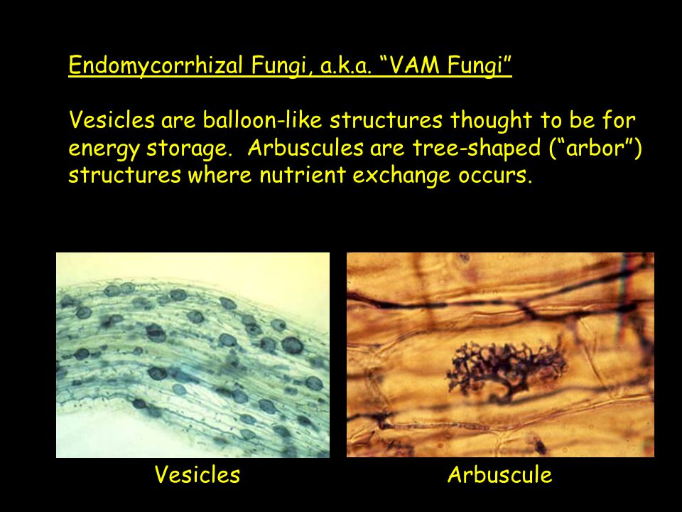 "Endomycorrhizal Fungi, a.k.a. ""VAM Fungi"" Vesicles are balloon-like structures thought to be for energy storage. Arbuscules are tree-shaped (""arbor"")"