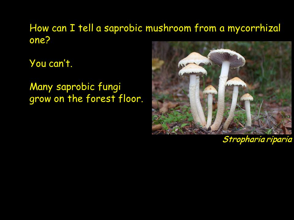 How can I tell a saprobic mushroom from a mycorrhizal one.