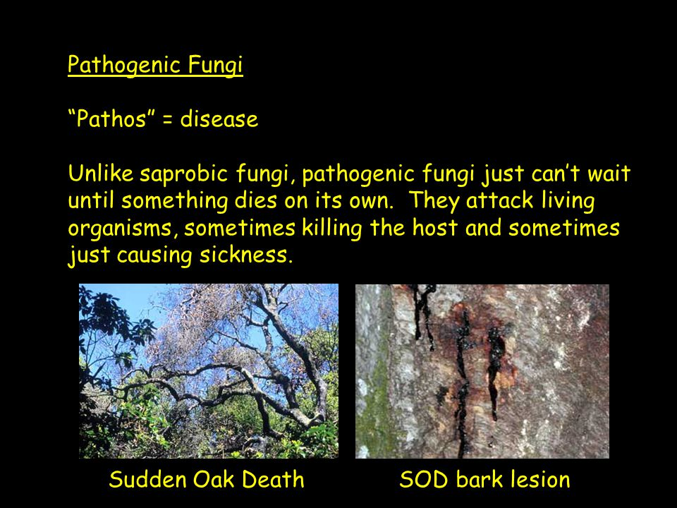 "Pathogenic Fungi ""Pathos"" = disease Unlike saprobic fungi, pathogenic fungi just can't wait until something dies on its own. They attack living organi"