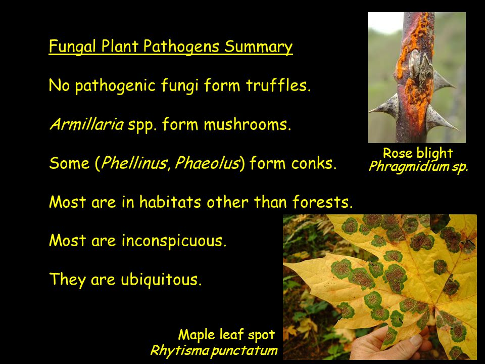 Fungal Plant Pathogens Summary No pathogenic fungi form truffles. Armillaria spp. form mushrooms. Some (Phellinus, Phaeolus) form conks. Most are in h