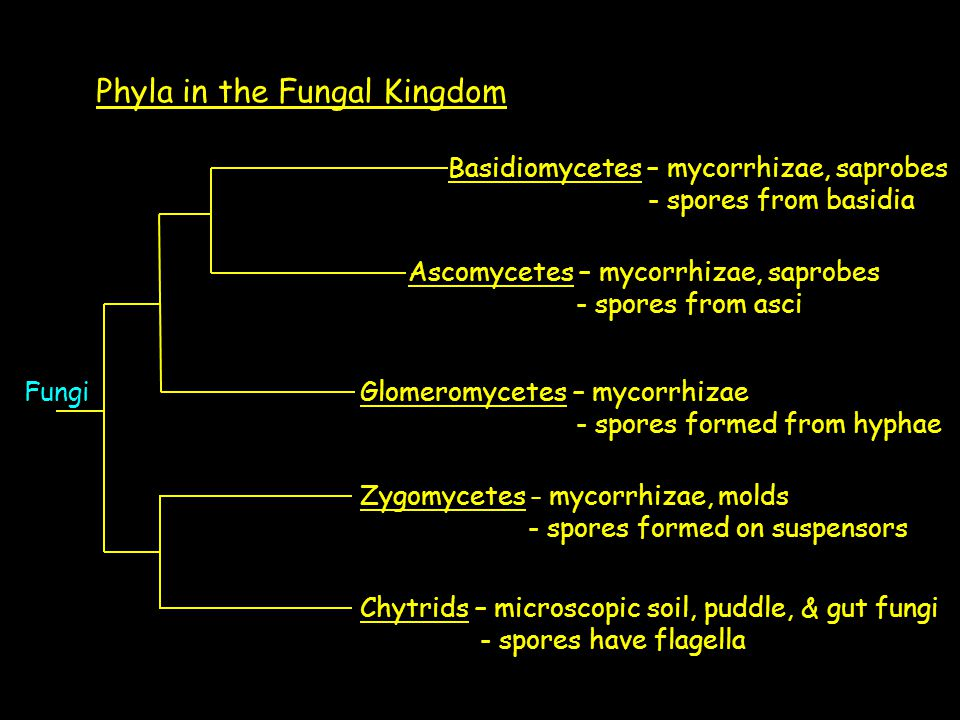 Phyla in the Fungal Kingdom Fungi Chytrids – microscopic soil, puddle, & gut fungi - spores have flagella Zygomycetes – mycorrhizae, molds - spores formed on suspensors Basidiomycetes – mycorrhizae, saprobes - spores from basidia Ascomycetes – mycorrhizae, saprobes - spores from asci Glomeromycetes – mycorrhizae - spores formed from hyphae
