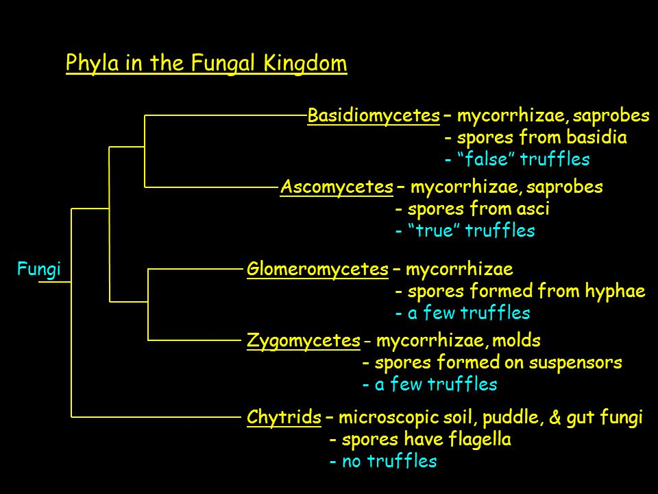 Phyla in the Fungal Kingdom Fungi Chytrids – microscopic soil, puddle, & gut fungi - spores have flagella - no truffles Zygomycetes – mycorrhizae, mol