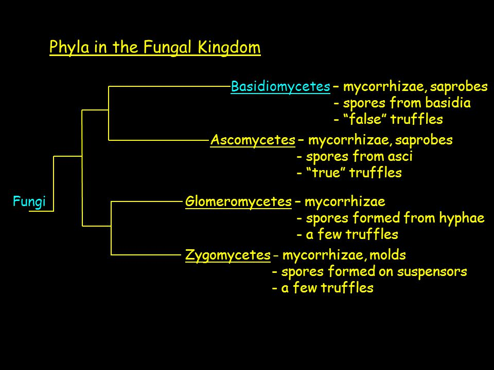 Phyla in the Fungal Kingdom Zygomycetes – mycorrhizae, molds - spores formed on suspensors - a few truffles Basidiomycetes – mycorrhizae, saprobes - spores from basidia - false truffles Ascomycetes – mycorrhizae, saprobes - spores from asci - true truffles FungiGlomeromycetes – mycorrhizae - spores formed from hyphae - a few truffles