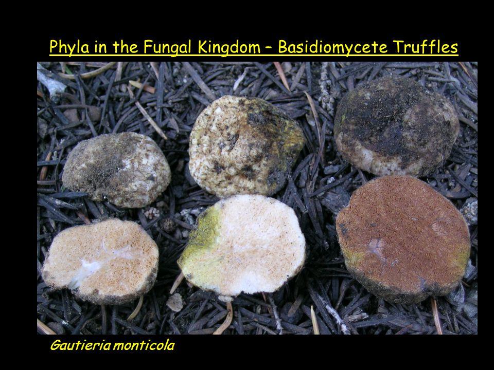 Gautieria monticola Phyla in the Fungal Kingdom – Basidiomycete Truffles