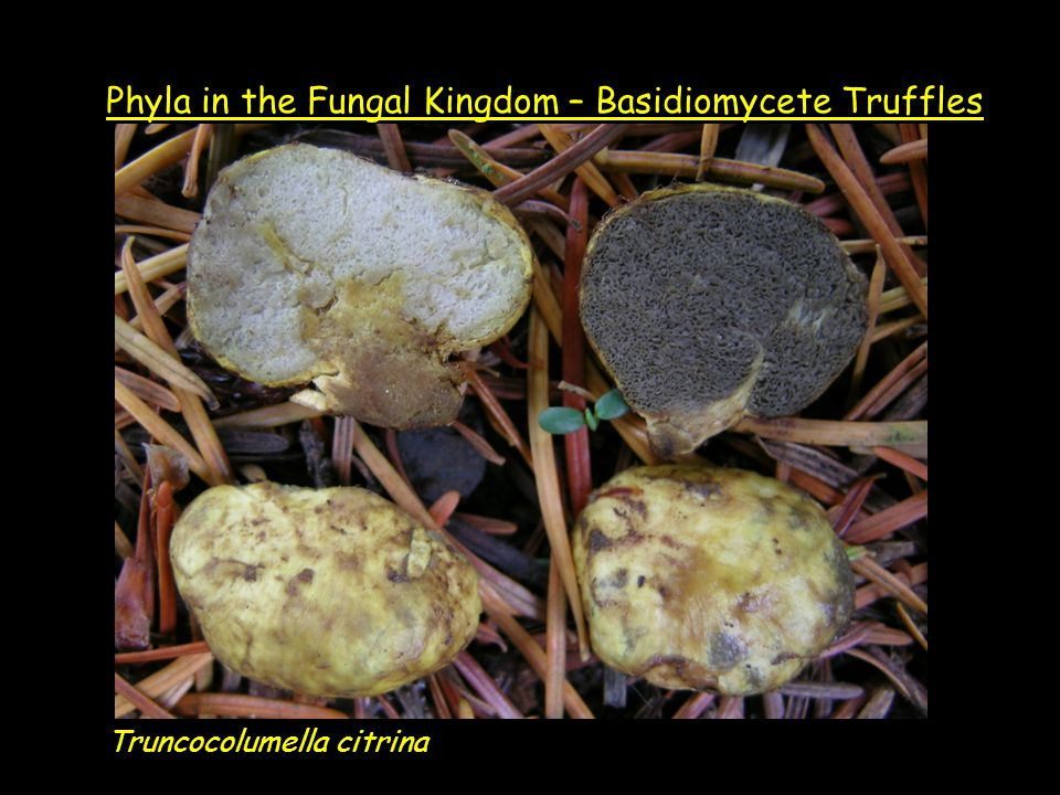 Truncocolumella citrina Phyla in the Fungal Kingdom – Basidiomycete Truffles