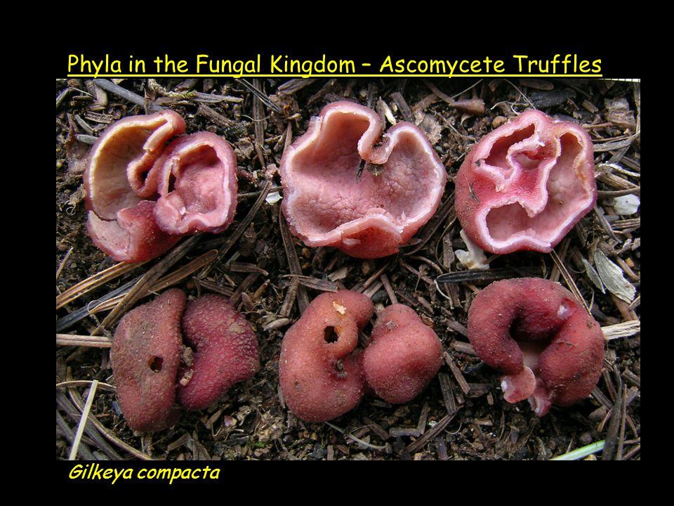 Gilkeya compacta Phyla in the Fungal Kingdom – Ascomycete Truffles