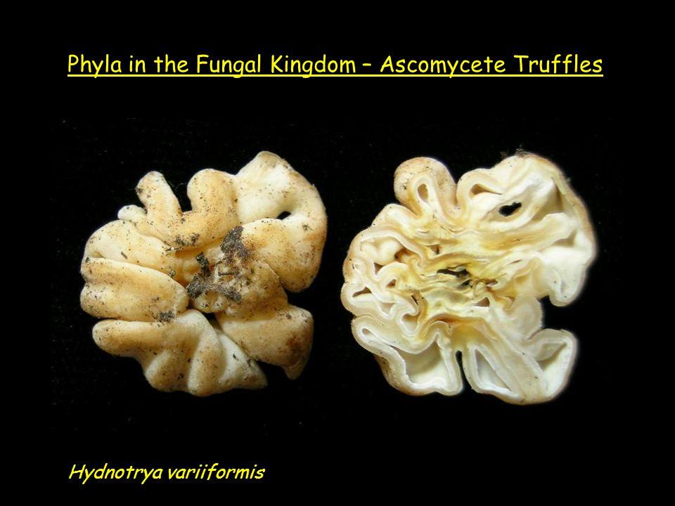 Hydnotrya variiformis Phyla in the Fungal Kingdom – Ascomycete Truffles