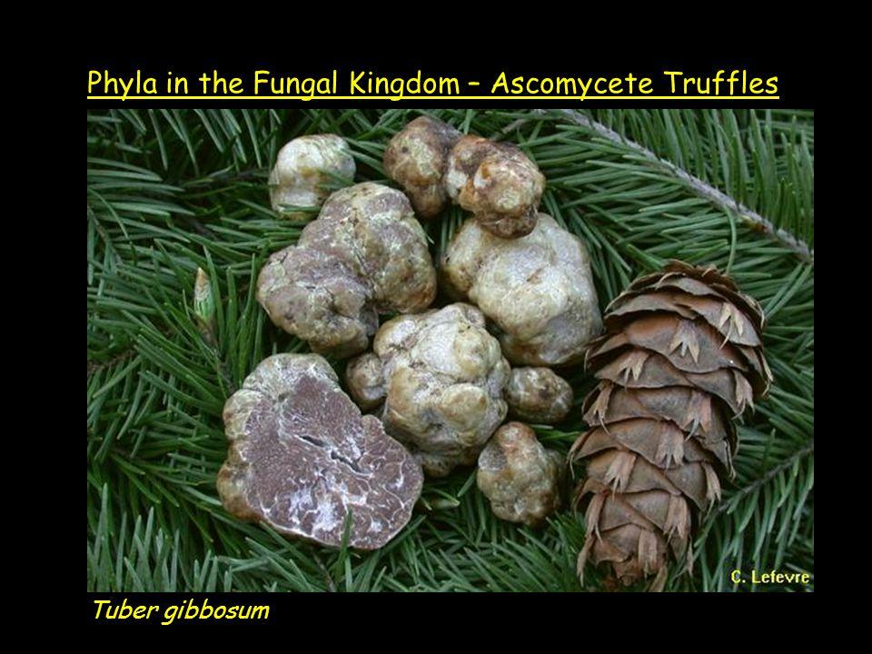 Tuber gibbosum Phyla in the Fungal Kingdom – Ascomycete Truffles