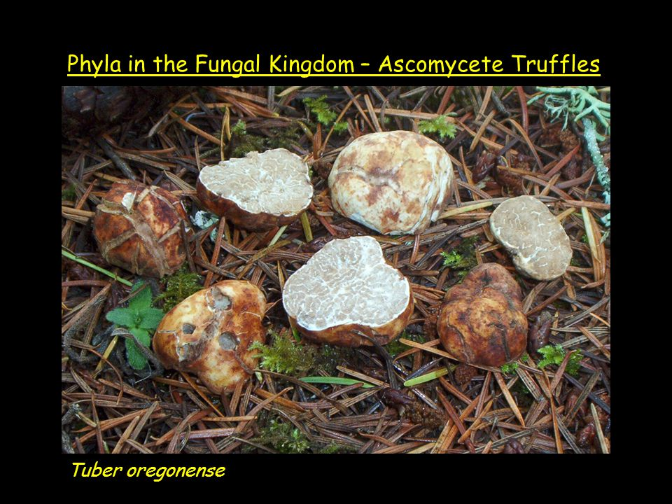Tuber oregonense Phyla in the Fungal Kingdom – Ascomycete Truffles