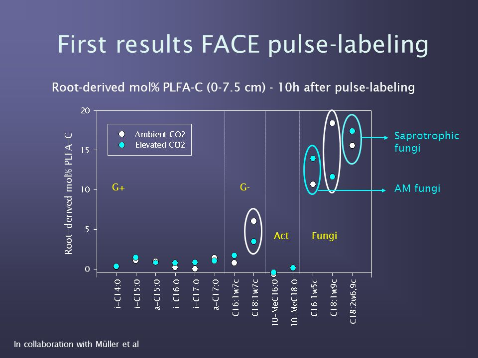 First results FACE pulse-labeling In collaboration with Müller et al Root-derived mol% PLFA-C (0-7.5 cm) - 10h after pulse-labeling G+G- ActFungi Saprotrophic fungi AM fungi