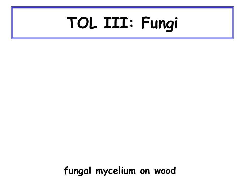 TOL III: Fungi fungal mycelium on wood