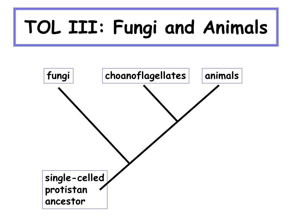 TOL III: Fungi and Animals fungianimalschoanoflagellates single-celled protistan ancestor