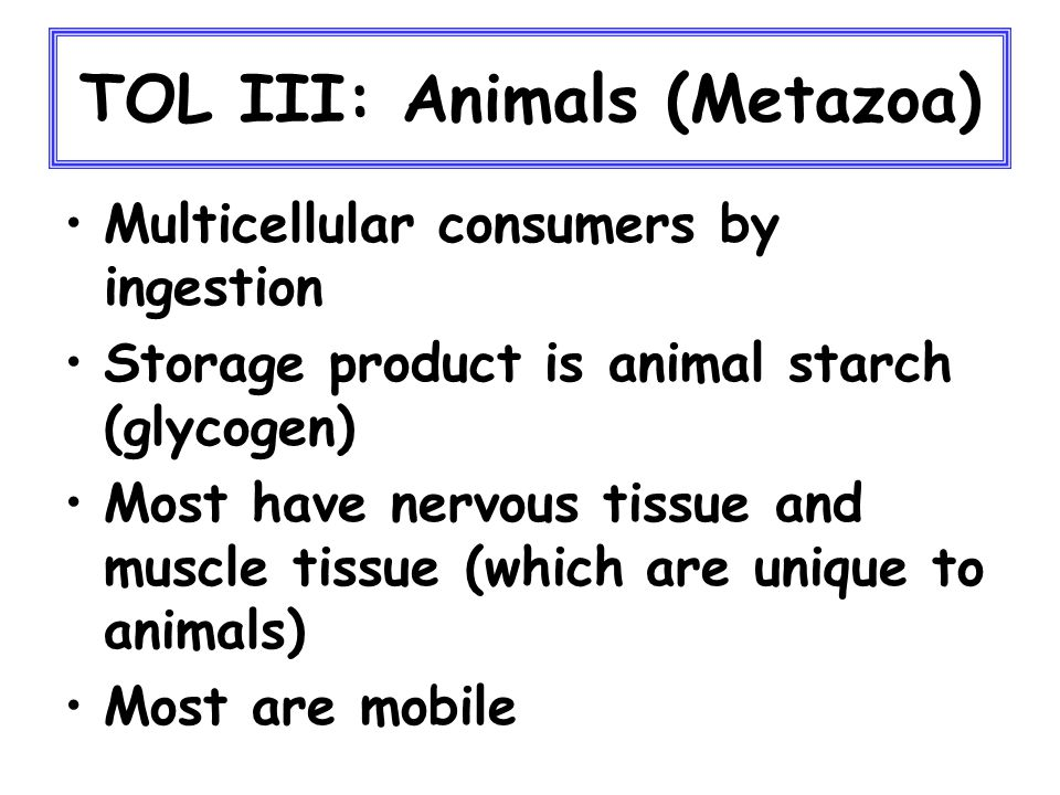 TOL III: Animals (Metazoa) Multicellular consumers by ingestion Storage product is animal starch (glycogen) Most have nervous tissue and muscle tissue (which are unique to animals) Most are mobile