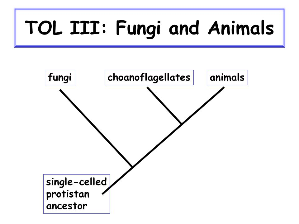 TOL III: Fungi Primarily terrestrial No motile cells except in reproductive cells of chytrids Chitin in cell walls Unique features of chromosomes and nuclear division Dominant part of life cycle has only one set of chromosomes per nucleus