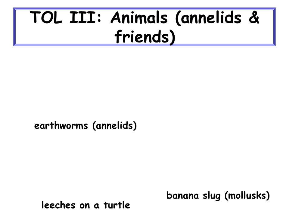TOL III: Animals (annelids & friends) banana slug (mollusks) earthworms (annelids) leeches on a turtle