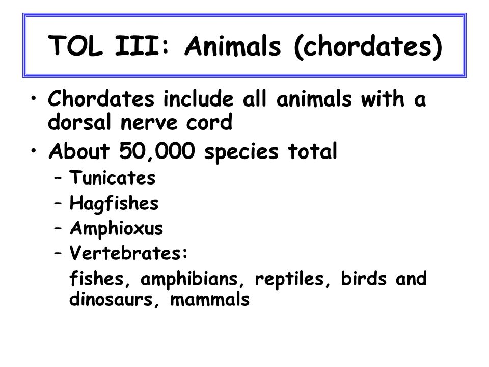 TOL III: Animals (chordates) Chordates include all animals with a dorsal nerve cord About 50,000 species total –Tunicates –Hagfishes –Amphioxus –Vertebrates: fishes, amphibians, reptiles, birds and dinosaurs, mammals