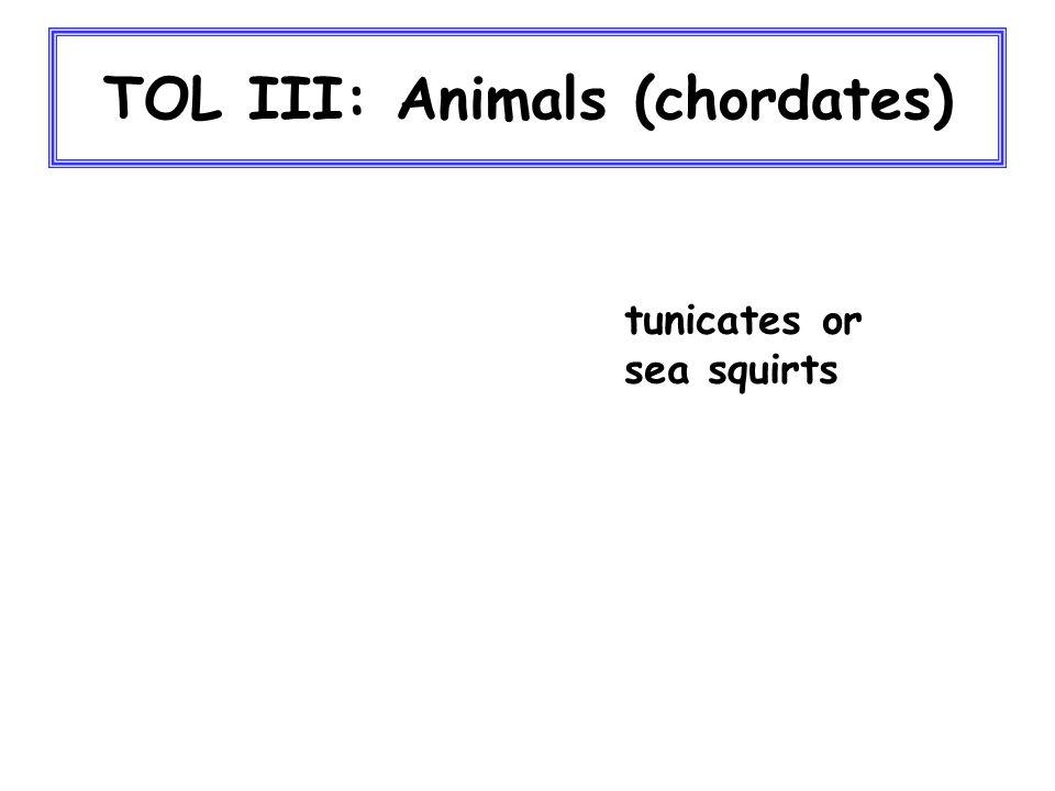 TOL III: Animals (chordates) tunicates or sea squirts