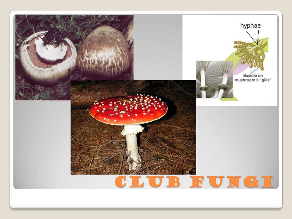 Club Fungi