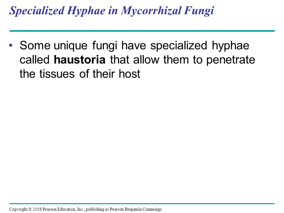 Copyright © 2008 Pearson Education, Inc., publishing as Pearson Benjamin Cummings Specialized Hyphae in Mycorrhizal Fungi Some unique fungi have speci