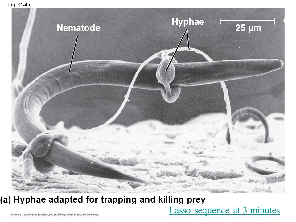 Fig. 31-4a (a) Hyphae adapted for trapping and killing prey Nematode Hyphae 25 µm Lasso sequence at 3 minutes