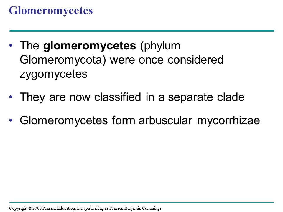 Copyright © 2008 Pearson Education, Inc., publishing as Pearson Benjamin Cummings Glomeromycetes The glomeromycetes (phylum Glomeromycota) were once c
