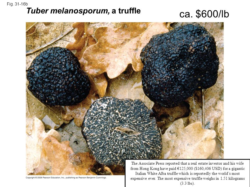 Fig. 31-16b Tuber melanosporum, a truffle ca. $600/lb The Associate Press reported that a real estate investor and his wife from Hong Kong have paid €