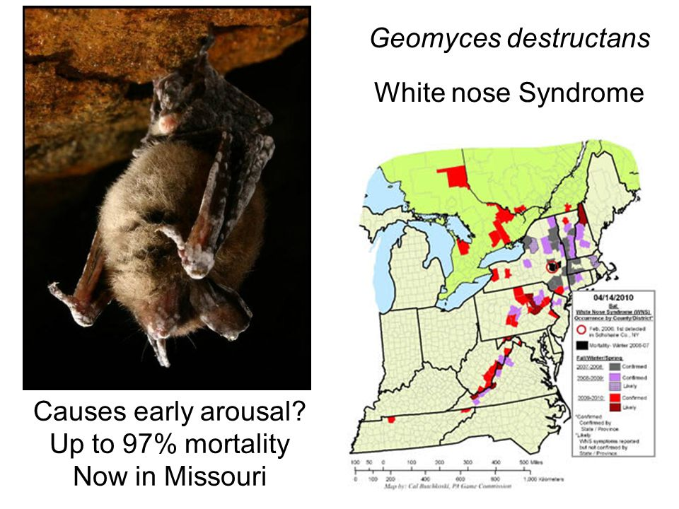 Geomyces destructans White nose Syndrome Causes early arousal? Up to 97% mortality Now in Missouri