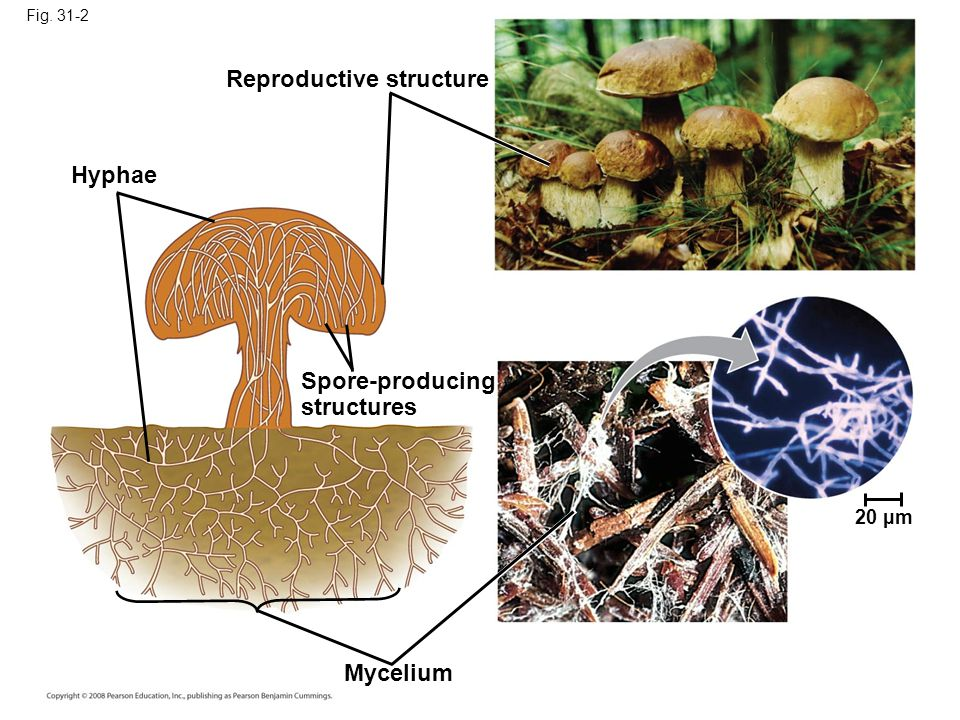 Fig. 31-2 Reproductive structure Spore-producing structures Hyphae Mycelium 20 µm