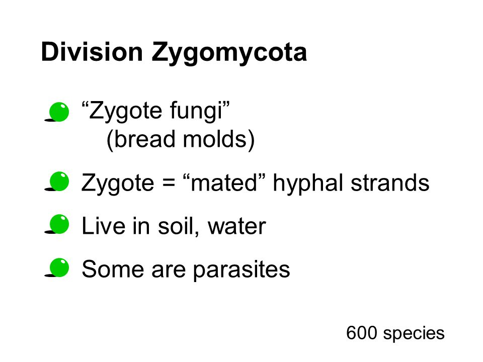 Division Zygomycota Zygote fungi (bread molds) Zygote = mated hyphal strands Live in soil, water Some are parasites 600 species