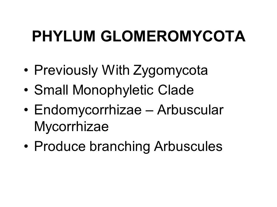 PHYLUM GLOMEROMYCOTA Previously With Zygomycota Small Monophyletic Clade Endomycorrhizae – Arbuscular Mycorrhizae Produce branching Arbuscules