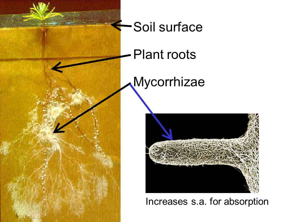 Soil surface Plant roots Mycorrhizae Increases s.a. for absorption