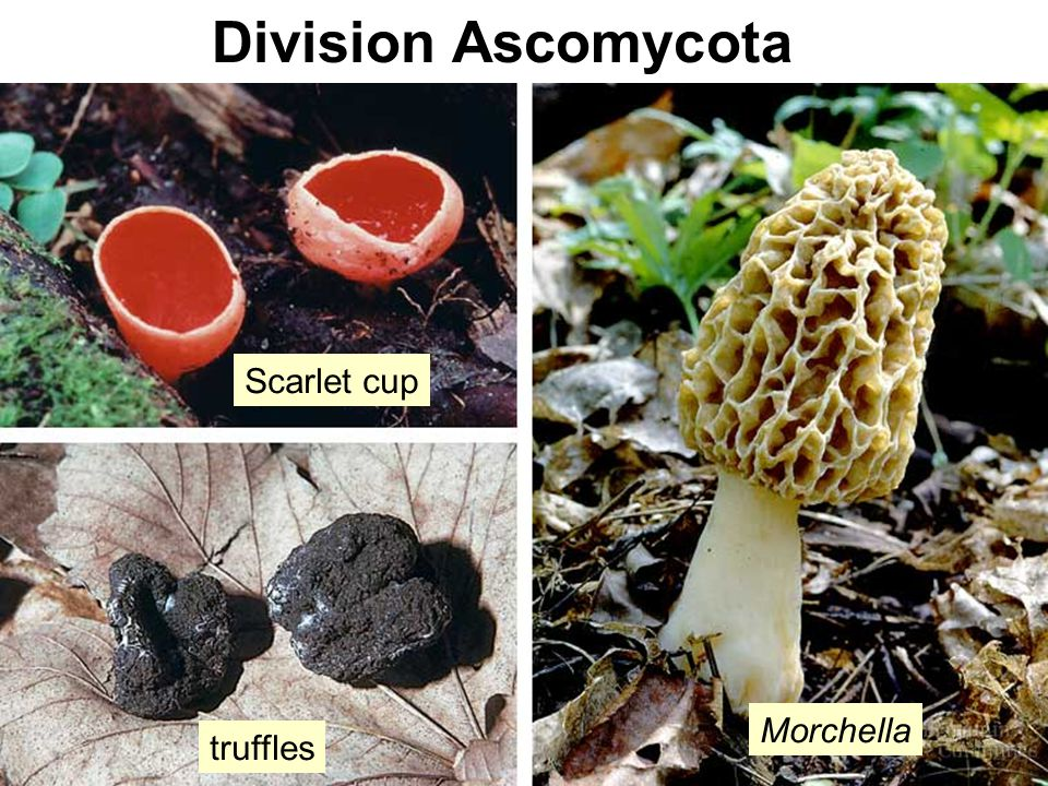 Division Ascomycota Scarlet cup truffles Morchella